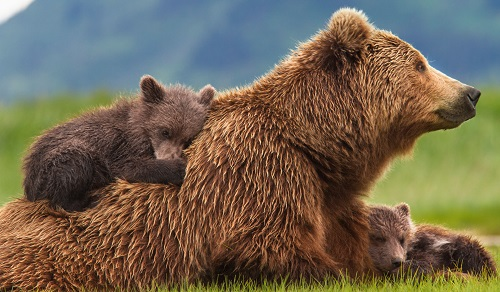 Ý nghĩa giấc mơ thấy con gấu