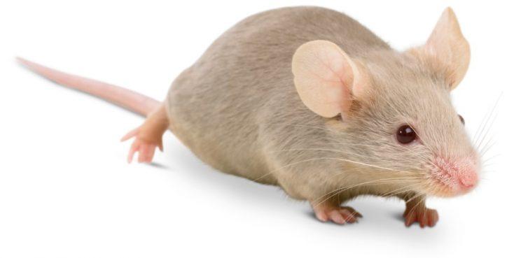 Kết quả hình ảnh cho con chuột