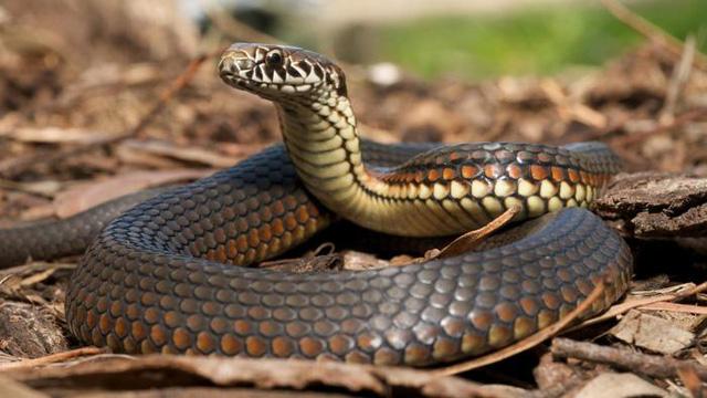 nằm mơ thấy rắn