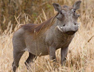 Mơ thấy lợn lòi