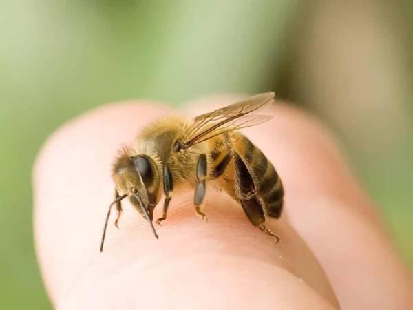 Bị ong chích là điềm gì? Đánh con gì khi bị ong đốt